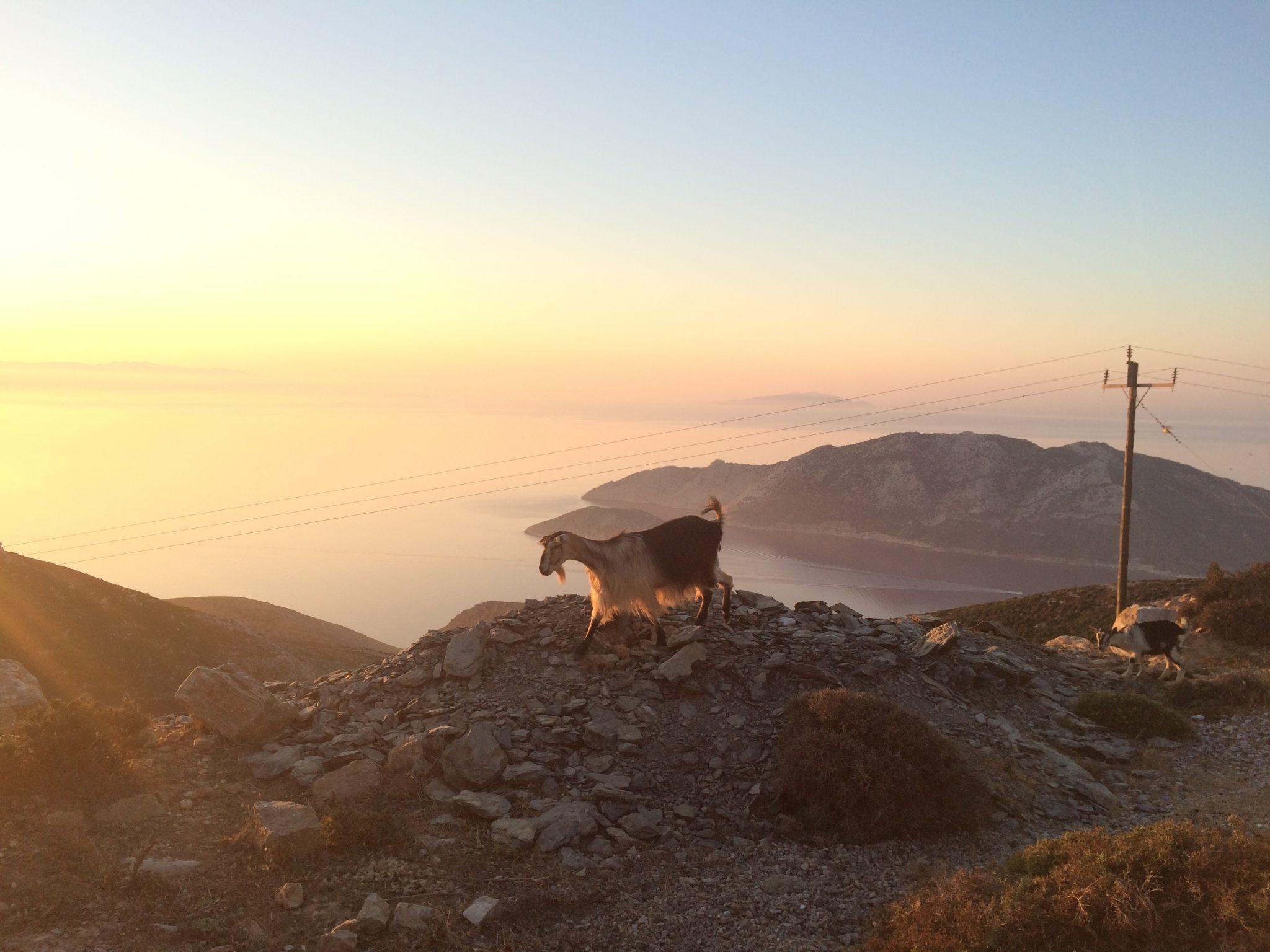 Amorgos goats