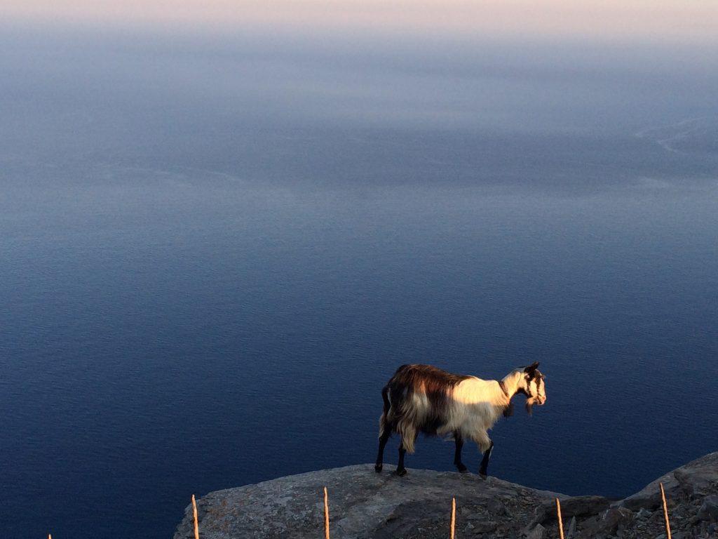 Goat sea Amorgos