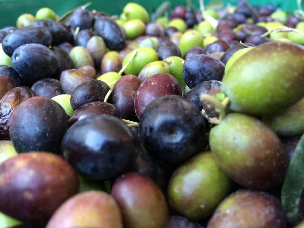 Olives from tuscany pendolino moraiolo frantoio