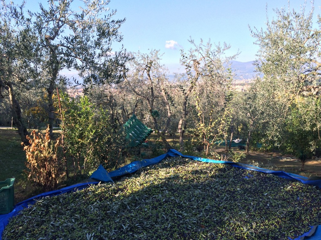 The land and olive trees of Gennaro
