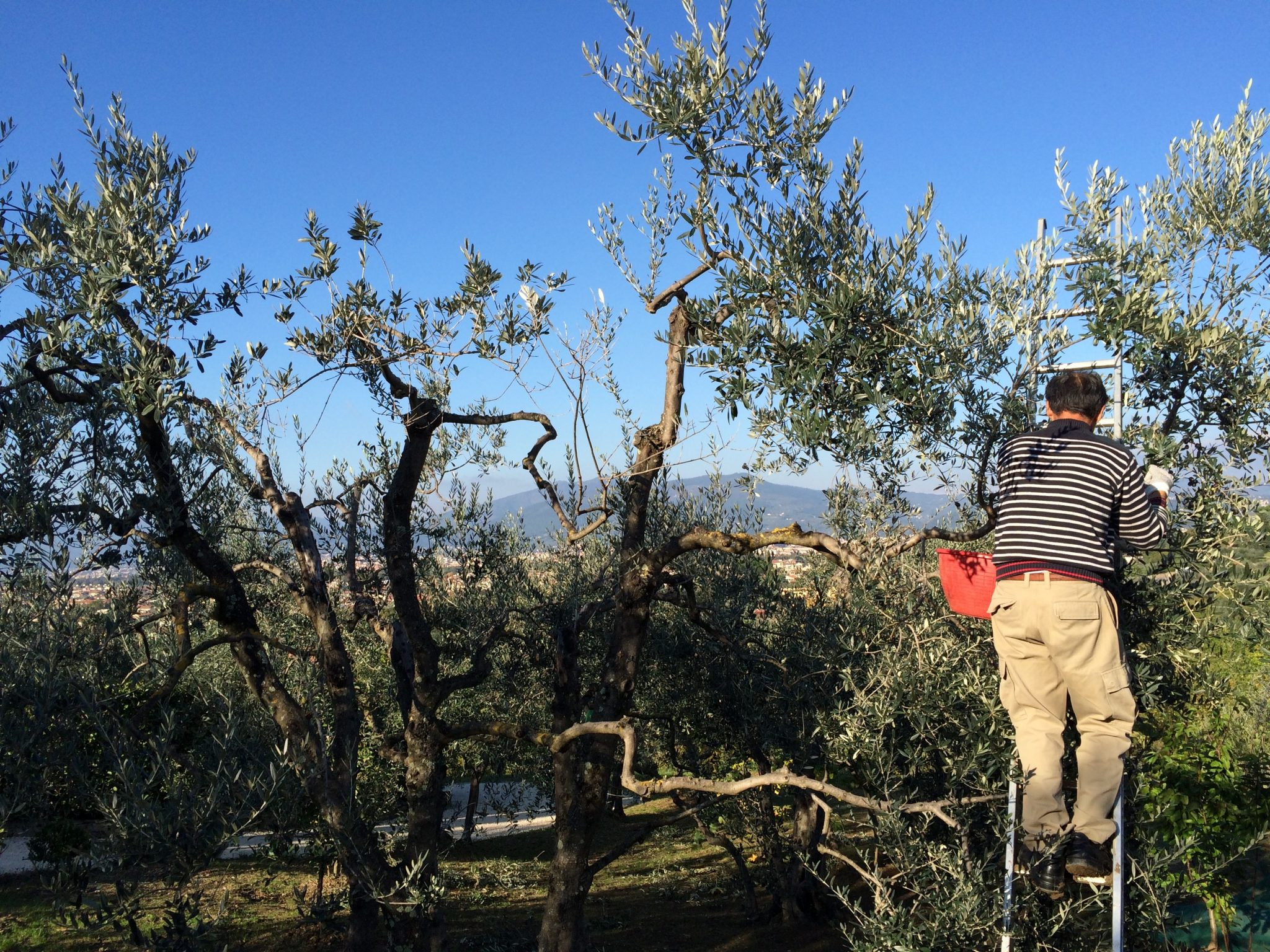 by hand harvesting olives