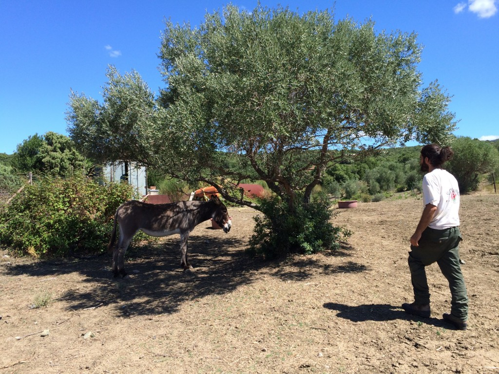 Alberto and his tuscan donkey