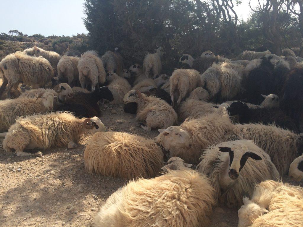 goats in crete