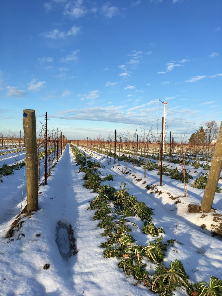Canadian vineyard frozen
