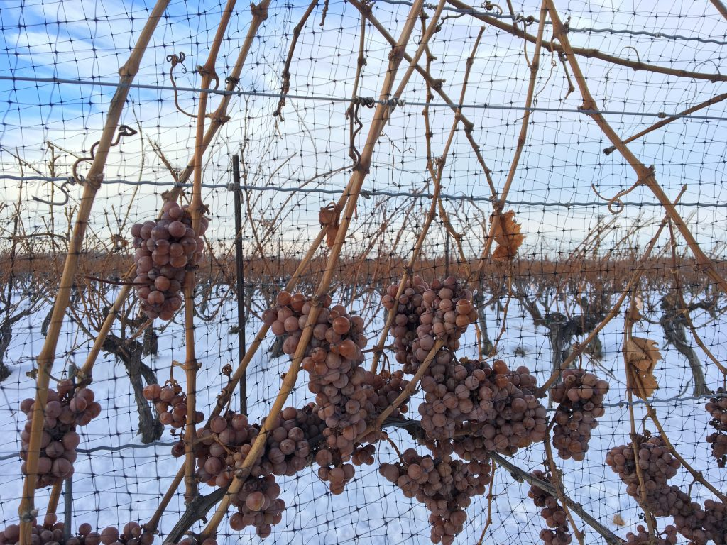 Frozen grapes icewine