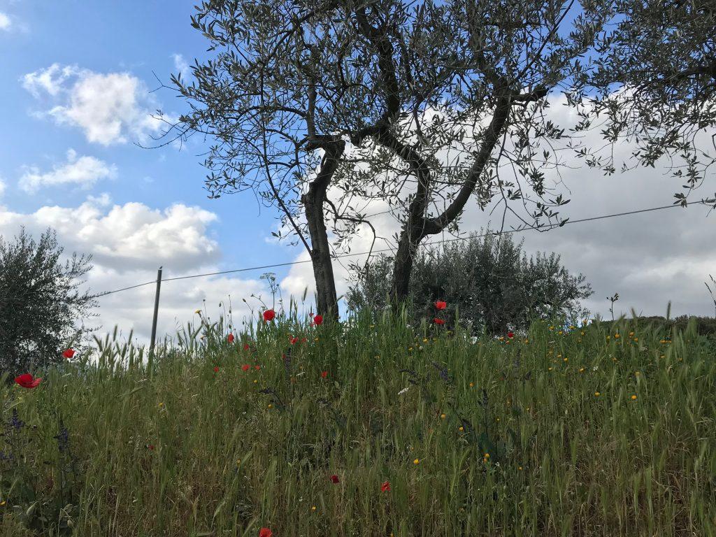 Fiori e papaveri di primavera tra gli ulivi toscani